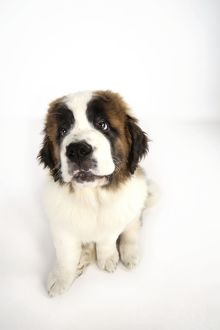 St Bernard Dog - 14 weeks old