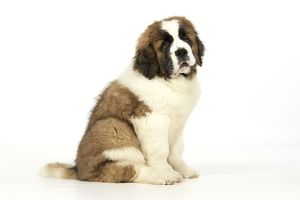 St Bernard Dog - 14 weeks old puppy