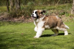St Bernard Dog - 14 weeks old puppy, running