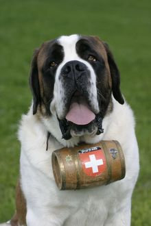 St. Bernard Dog - Male with barrel around neck