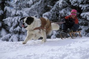 St Bernard Dog - pulling child on sled along forest