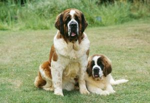 St Bernard DOG - with puppy