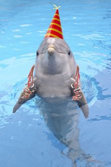 STA-248-M Bottlenose dolphin - with party hat & streamers