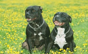 Staffordshire Bull Terrier DOGS - two sitting in buttercup field.