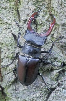 Stag Beetle - Male