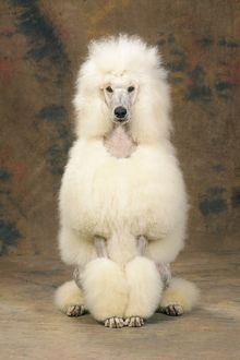 <b>Poodle (Standard)</b><br>Selection of 144 items