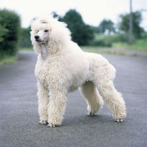 Standard Poodle DOG - unclipped