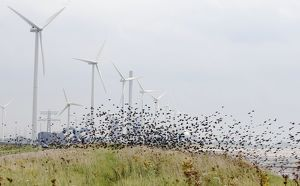 Starlings - in flight among wind turbines