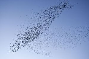 Starlings - Mass manouver in the skys above the roosting site