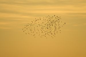 Starlings - roosting flock being attacked by single hawk