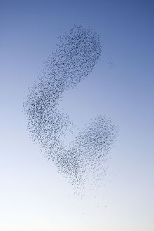 Starlings - Shape shifting manoeuvres in the sky