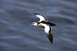Steller's Eider - Drake in flight