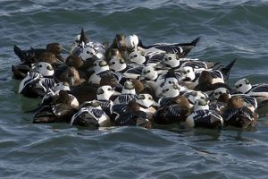 Steller's Eider - Tightly packed winter flock