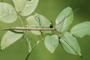 STICK INSECT - ON LEAVES