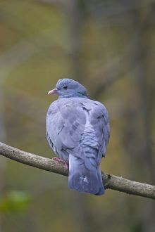 Stock Dove adult perched on twig