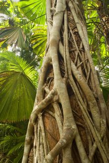 Strangler Fig - a young strangler fig embraces its host tree in a tropical rainforest