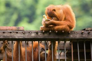 Sumatran Orangutan - a young one is sitting on top of a cage which holds an adult