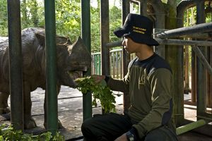 Sumatran Rhinoceros - being fed by hand in veterinary