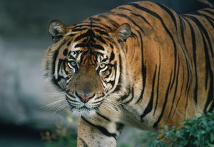 Sumatran TIGER - close-up head