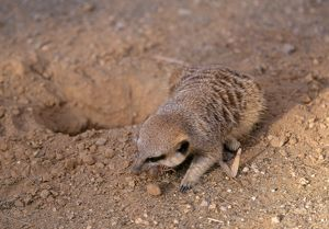 Suricate - Eating solifuge / wind scorpion / sun spider / camel spider