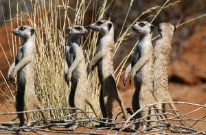 Suricate - group on the look-out