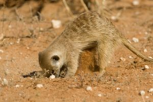 Suricate / Meerkat - Digging for food in the form of grubs and scorpions