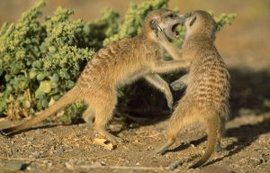 SURICATE / Meerkat - Fighting young