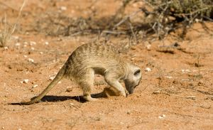 Suricate / Meerkat - foraging for food