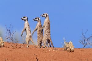 Suricate / Meerkat - Group on the look-out