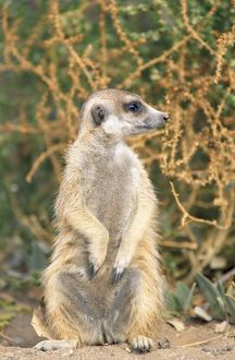 Suricate / Meerkat - guard on look-out