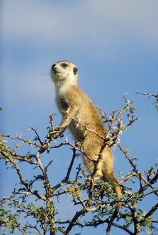 Suricate / Meerkat - in look-out in tree, sentry.