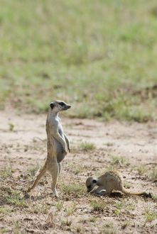 Suricate / Meerkat sentinel with youngster digging.