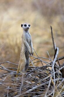 Suricate / Meerkat - Sentry keeping watch for predators