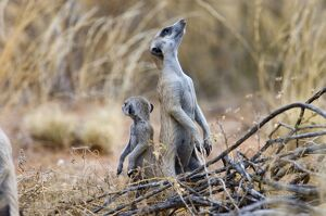 Suricate / Meerkat - Sentry keeping watch for predators with youngster close-by