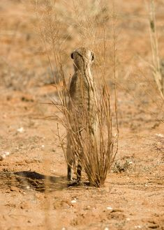 Suricate / Meerkat - Standing guard whilst taking shelter behind a thin shrub