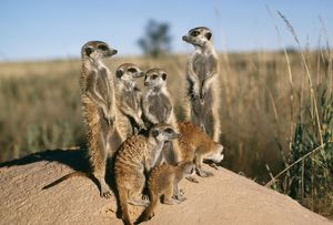 Suricate / Meerkat - Sunbathe at sunrise