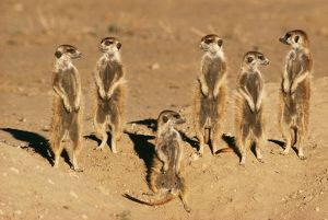 Suricates / Meerkat - Sunning themselves
