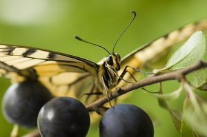 Swallowtail Butterfly - on blackthorn