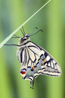 Swallowtail Butterfly - on blade of grass