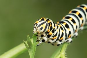 Swallowtail Butterfly Larva - feeding on carrot leaves