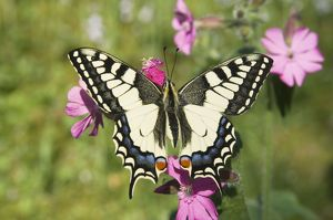 Swallowtail Butterfly - On Red Campion