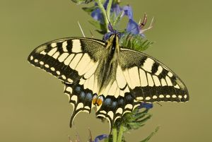 Swallowtail - On vipers bugloss