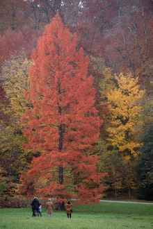Swamp Cypress - foilage in autumn colour