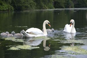 Swans and cygnets eating weeds in lake