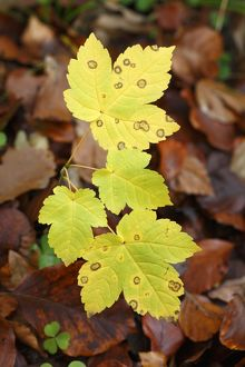 Sycamore - sapling leaves