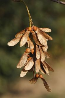 Sycamore Tree - fruits / seeds
