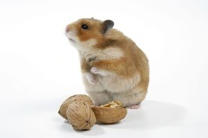 Syrian Hamster with walnuts