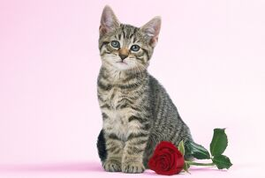Tabby Cat - kitten with rose