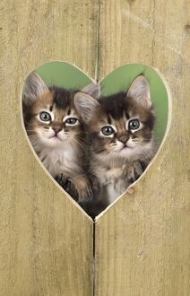 Tabby kittens in heart shape hole in wood for Valentine's Day