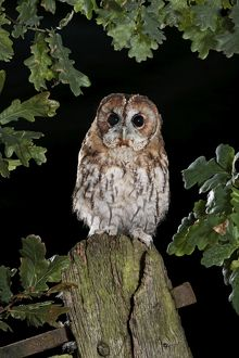 Tawny owl on gate post